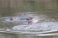 Nijlpaarden in Park Benoue