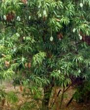 mango%20tree