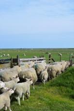 DeKriebelOpReis @Texel boerderij De Waddel (4)